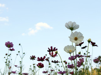 Purple, pink, red, cosmos flowers in the garden with blue sky an
