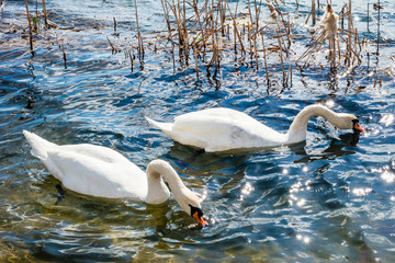 Two white swans on a lake.