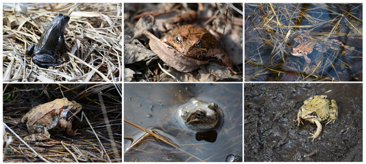 Frog collage (The common frog (Rana temporaria also known as the European common frog, European common brown frog, or European grass frog)