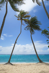 Palmen am Strand der französischen Antillen Insel Guadeloupe