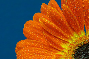 The orange gerbera with the yellow corolla and the raindrops in extreme close-up macro on the blue background