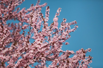 Cherry blossoms on branches