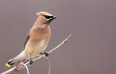 Beautiful Cedar Waxwing male perched on white branch looking right