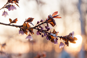 Plum tree blossoms emerge in spring as ice melts from overnight frost in early spring sunrise