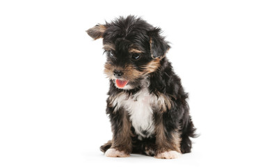 Yorkshire terrier puppy over white background