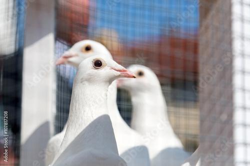 Weisse Tauben Hochzeit Stockfotos Und Lizenzfreie Bilder Auf Fotolia