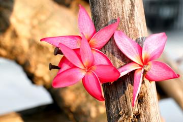 pink plumeria flower 4175