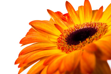 yellow and orange gerbera
