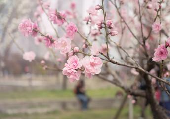 Beautiful blossom sakura flower in springtime, Japan ( Soft and Vintage tone color )