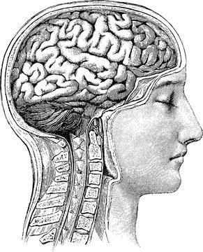 Vintage anatomical image human brain