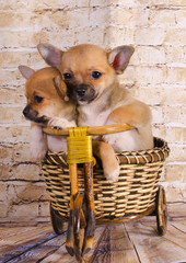 Puppies traveling by bike