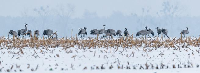 Kraniche (Grus grus) im Winter auf einem Acker