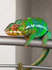 Panther Chameleon is posing for the camera