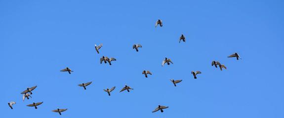 Taubenschwarm am blauen Himmel. Taubenzüchter schicken ihre Brietauben auf Reisen