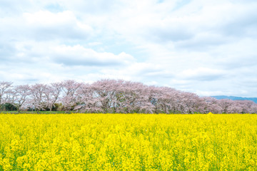 canolaflower and cherry blossom,kashihara city,nara,japan