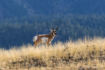 Foto op Canvas Antilope Pronghorn Antelope Buck