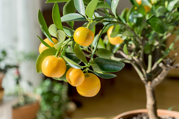 citrus trees / little orange tree in a pot