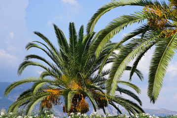 Phoenix dactylifera. Views of mount Pantokrator and the sky through palm fronds. Greece, Corfu