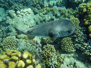 Fish a hedgehog against corals