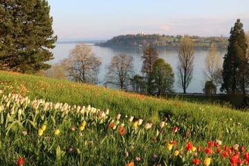Bunte Tulpenwiese über dem Bodensee