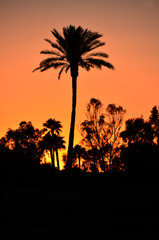 Dawn of palm trees against orange sky, Arizona USA