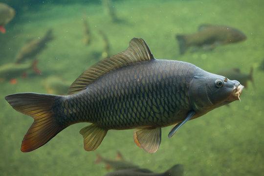 Wild common carp (Cyprinus carpio).