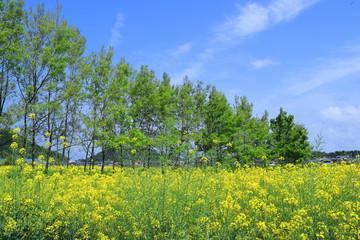 Wall Mural - 新緑と菜の花と青空