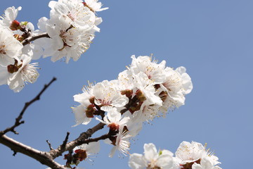 branches of the cherry blossoms in the spring garden