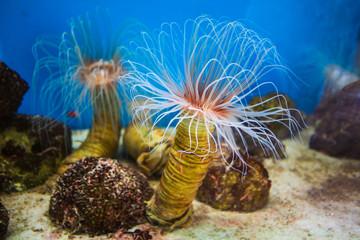 Sea anemone (anemone) with white tentacles in the aquarium