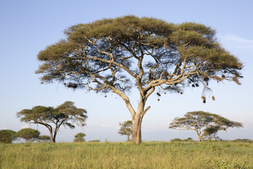 Acacia tree in african landscape