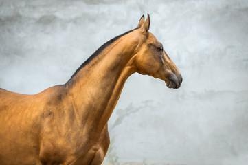 Golden bay akhal-teke horse stallion on the grey wall background