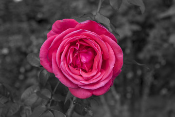 rose , black and white background