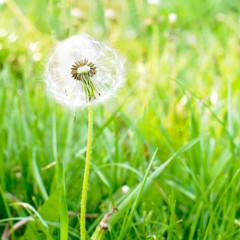 Sunbathing dandelion