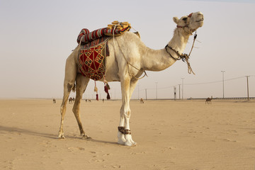 White Camel in the kuwait desert