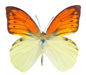 Hebomoia leucippe butterfly