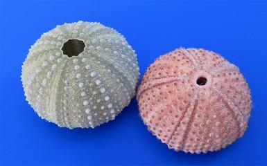 Two shells of sea urchin