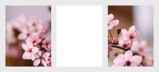 Obraz Kwitnący kwiat wiśni - fototapety do salonu