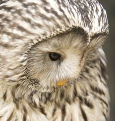 Poster Owl Oeral uil kijkt omlaag