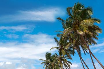 Coconut tree against blue sky.