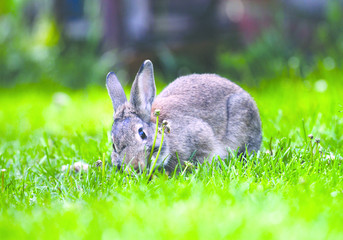 Obraz szczęśliwy królik na trawie - fototapety do salonu