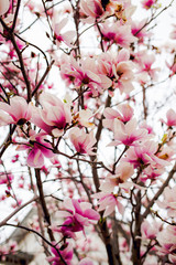 Beautiful light pink magnolia flowers on white sky background.