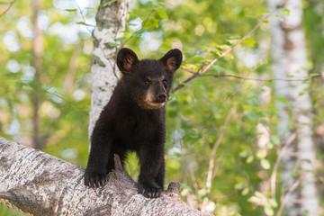 Black Bear Cub (Ursus americanus) Stands on Branch