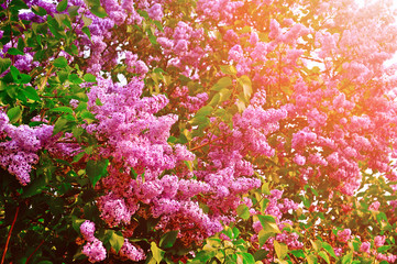 Blossoming of purple lilac flowers under soft sunny light