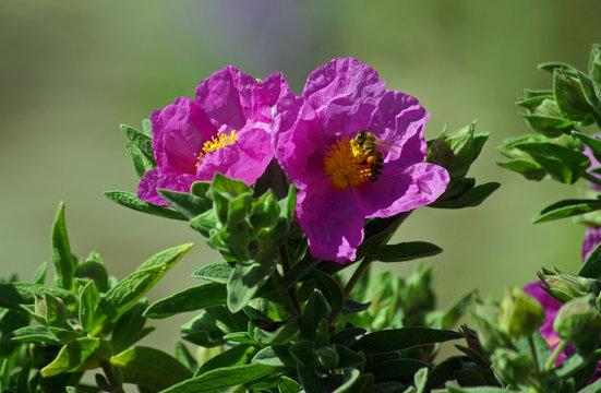 Corse, ciste rose dans le maquis au printemps en Balagne
