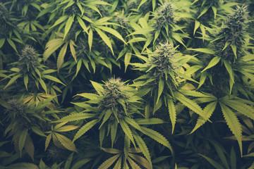cannabis bud / marihuana plants