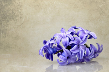Hyacinth flower on grunge background