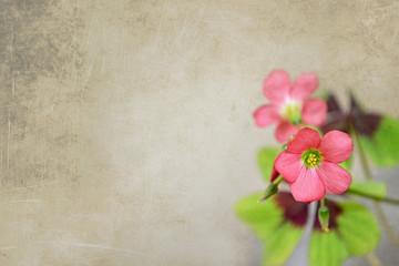 Flowers of four leaf clover  on grunge background
