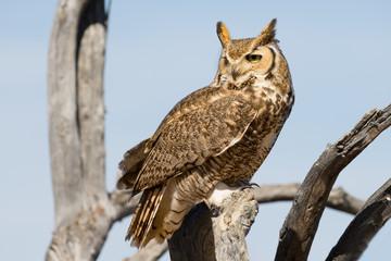 Fotobehang Uil Great Horned Owl
