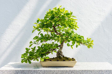 Euonymus fortunei Bonsai