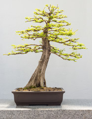 Bald Cypress Bonsai